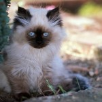 white persian cat , 8 Nice Persian Cat Shedding In Cat Category