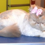 white persian cat , 7 Good Persian Cat Grooming In Dog Category