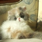 white persian cat , 8 Cool Persian Himalayan Cats In Cat Category