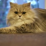 white persian cat , 9 Lovely Persian Cat Eye Problems In Cat Category