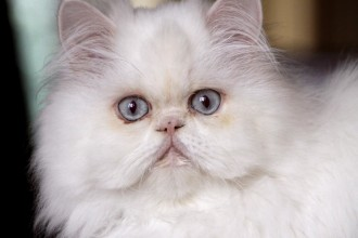 white persian cat in Dog
