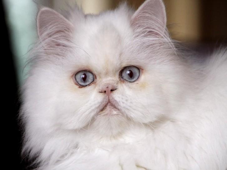 Cat , 8 Charming Persian Cat Facts : White Persian Cat