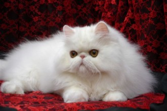 White Persian Cat , 8 Charming Persian Cat Facts In Cat Category