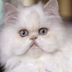 white persian cat , 9 Awesome Types Of Persian Cats In Cat Category
