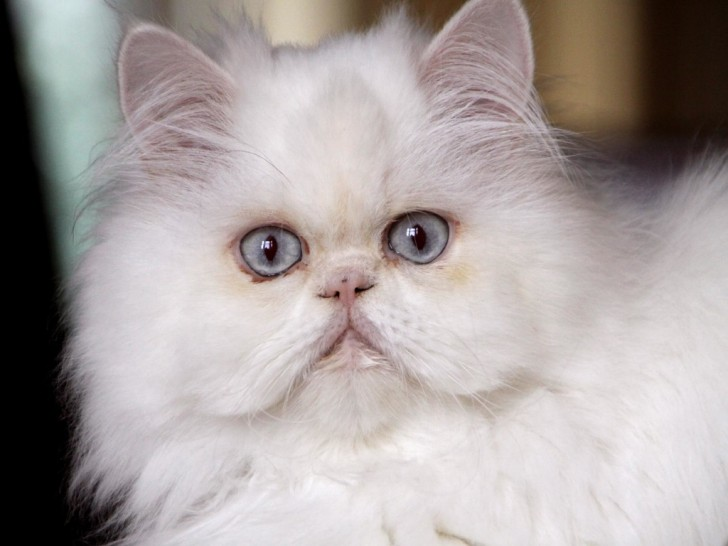 Cat , 9 Awesome Types Of Persian Cats : White Persian Cat