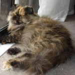 year old Tortoiseshell , 7 Popular Tortoiseshell Persian Cat In Cat Category