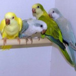 yellow quaker parrot , 7 Nice Quaker Parrots In Birds Category