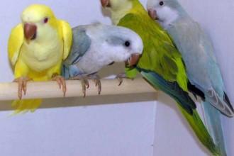 Yellow Quaker Parrot , 7 Nice Quaker Parrots In Birds Category