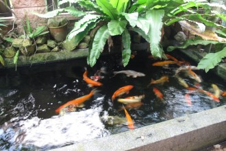 Beautiful Koi Fish , 8 Charming Koi Fish Ponds Designs In pisces Category
