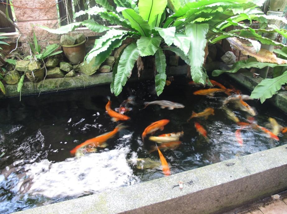 Beautiful koi fish pond images for Beautiful koi fish