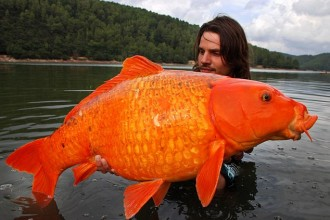 Biggest Koi Fish Ever in Dog