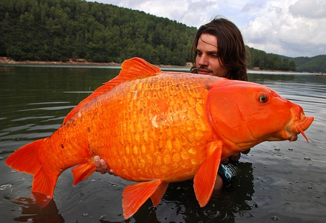 Biggest Koi Fish Ever