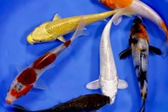 Blue Ridge Fish Hatchery Beautiful , 8 Charming Koi Fish Hatchery In pisces Category