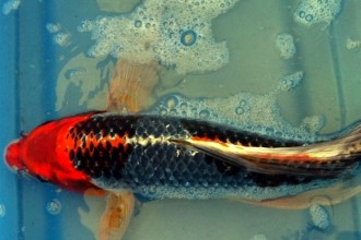 Butterfly Koi Varieties in Butterfly