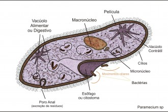Description Paramecium Sp , 8 Paramecium Images In Cell Category