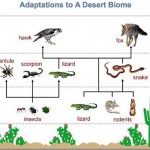 Desert Food Chain , Desert Food Chain Pictures In Ecosystem Category