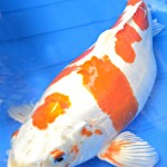 Doitsu Hariwake koi , 8 Charming Koi Fishes For Sale In pisces Category