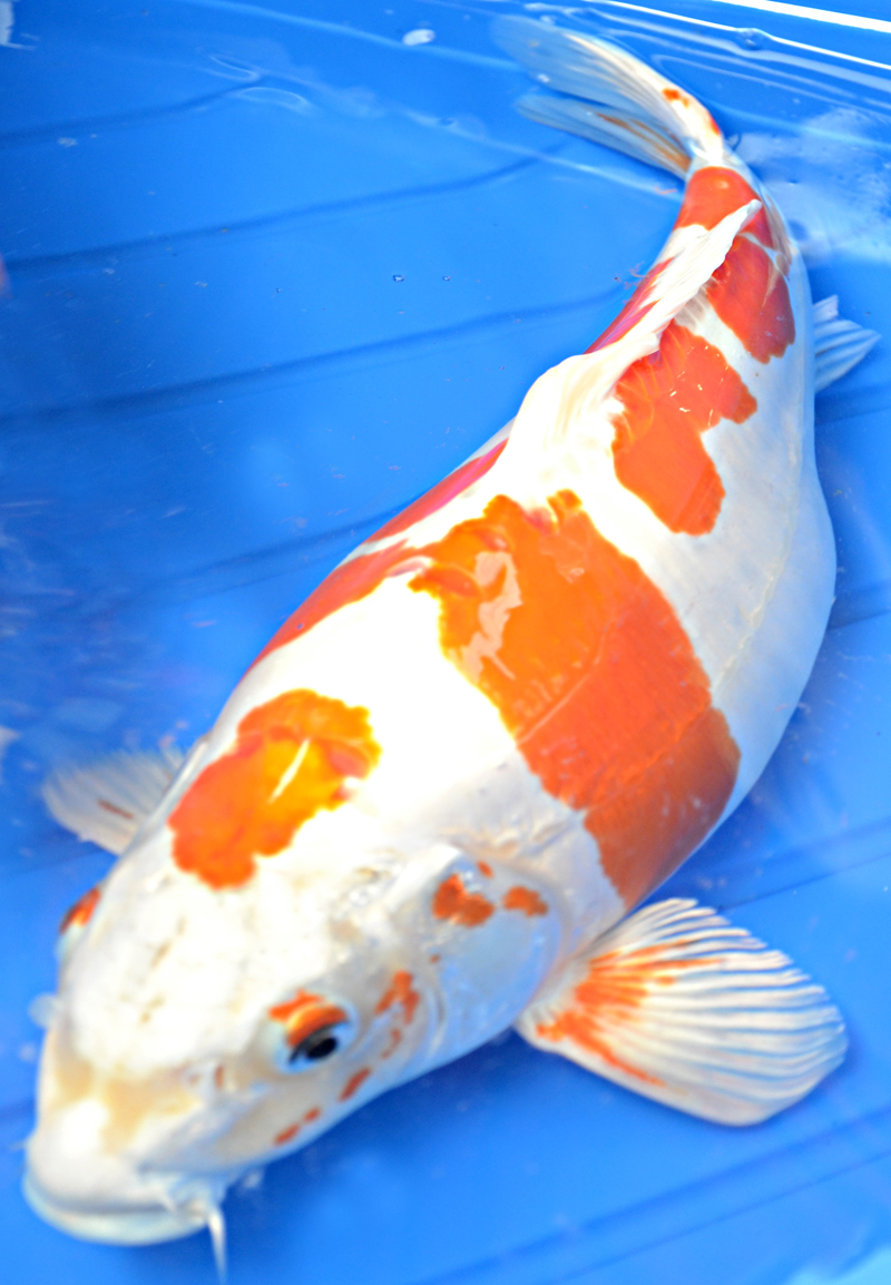Doitsu hariwake koi 8 charming koi fishes for sale for Large koi for sale