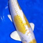 Doitsu hariwake Koi , 8 Beautiful Koi Fish Pond For Sale In pisces Category