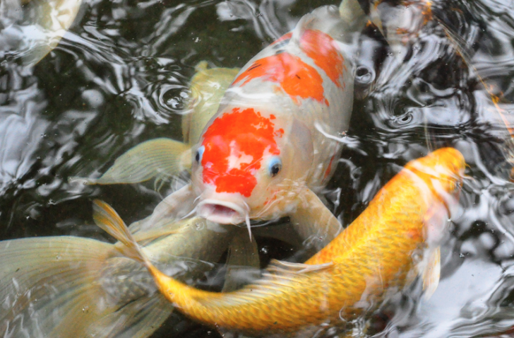 pisces , 6 Good Facts About Koi Fish : Fish Facts