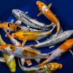Hikari Mix koi , 5 Nice Koi Fish Stores In pisces Category