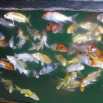Japanese koi , 8 Wonderful Koi Fish Tanks In pisces Category