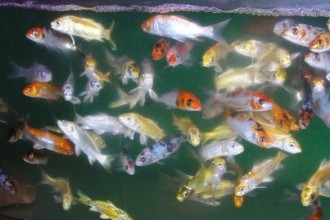 Japanese koi in Isopoda