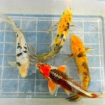 KOI FISH High Quality Best Prices , 7 Cool Koi Fish For Sale In Miami In pisces Category