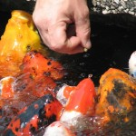 Koi Fish Carp , 9 Nice Caring For Koi Fish In pisces Category