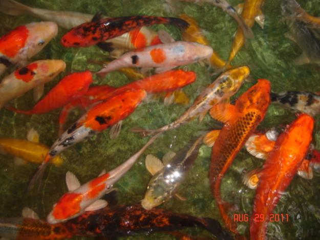 Koi Fish Farm prices