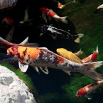 Koi Fish Healthy , 8 Charming Koi Fish San Diego In pisces Category