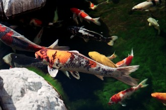 Koi Fish Healthy in Laboratory