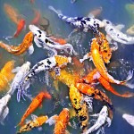 Koi Fish In Pond Photograph , 5 Beautiful Koi Fish Prints In pisces Category