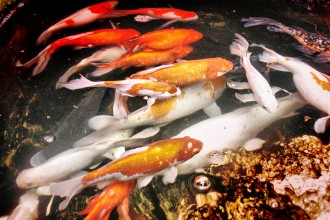 Koi Fish Pond , 6 Fabulous Koi Fish Ponds For Sale In pisces Category