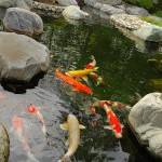 Koi Fish Pond Winter , 5 Nice Koi Fish Stores In pisces Category