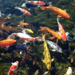 Koi Fish Pond interior Design , 8 Charming Koi Fish Ponds Designs In pisces Category