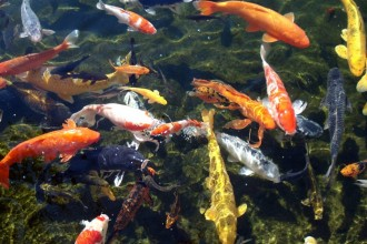 Koi Fish Pond interior Design in Laboratory