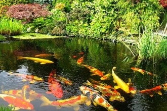 Koi Fish Pond in Human