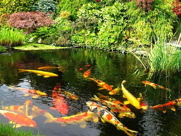 pisces , 6 Good Pictures Of Koi Fish Ponds : Koi Fish Pond