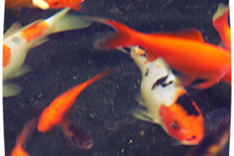 Koi Fish Prices , 7 Top Prices Of Koi Fish In pisces Category
