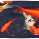 Koi Fish Prices , 7 Fabulous Koi Fish Cost In pisces Category