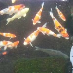 Koi Fish and Koi History , 7 Nice Koi Fish Breeding In pisces Category