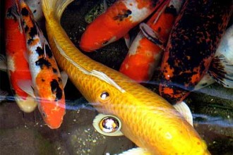 Koi Fish in Microbes