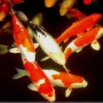 Koi Fish , 6 Top Buying Koi Fish In pisces Category