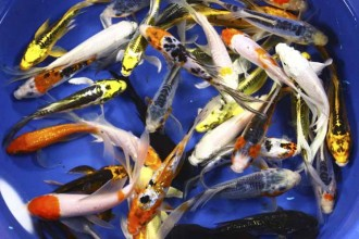 Koi For Sale , 8 Charming Koi Fish Hatchery In pisces Category