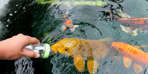 pisces , 6 Fabulous Koi Fish Pond Maintenance : Koi Pond Fish Care