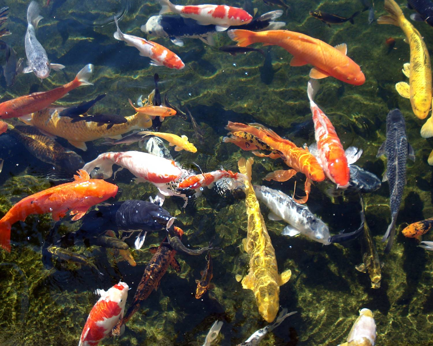 Koi pond 6 charming koi fish in las vegas biological for Carpe koi aquarium 300 litres