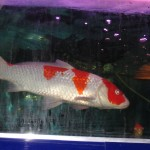 Koi breeding farm , 6 Fabulous Koi Fish Price Range In pisces Category