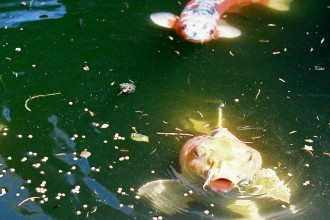 Koi Fish Paddle , 8 Amazing Giant Koi Fish For Sale In pisces Category