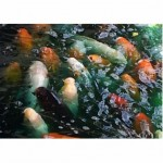 Koi fish swimming , 7 Fabulous Koi Fish Ponds Made Easy In pisces Category